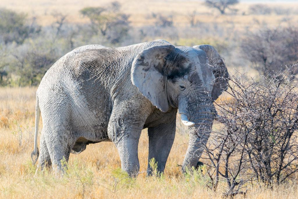 Earth Safari - Namibia - Etosha - elephant
