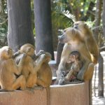 Earth Safari Gambia Makasutu Forest lodge culture baboons