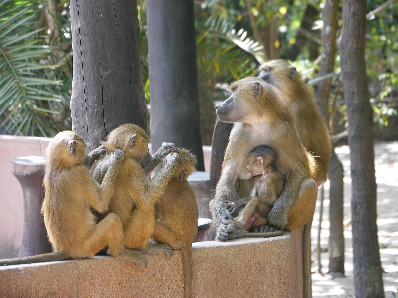 Earth Travels Gambia Makasutu Forest lodge culture baboons