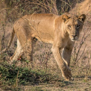 5 Day Budget South Luangwa National Park$ 495.00