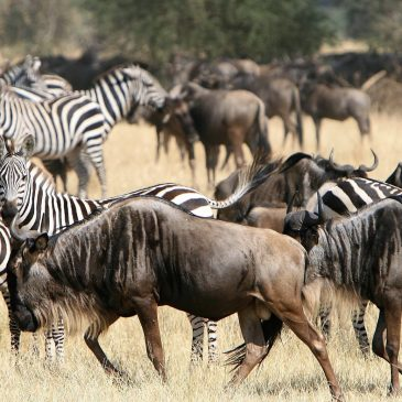 15 Day Ultimate Kenya – Tanzania SafariFrom: € 2395.00